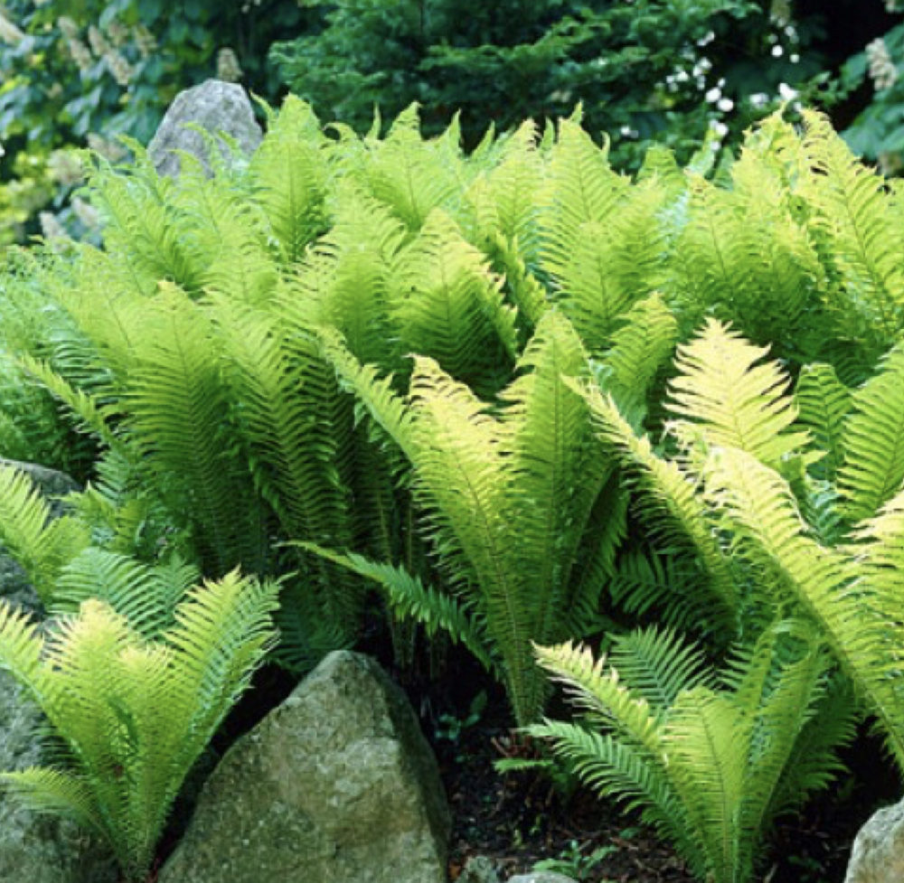 Ferns – Landscape Planting by Ambler Design